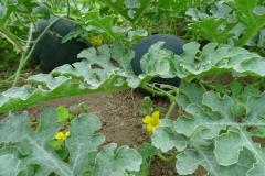 Und bei uns wachsen sogar Melonen!