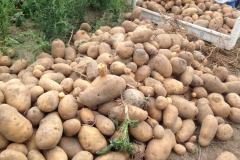 Kartoffelernte-2018-2