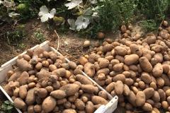 Kartoffelernte-2018-3