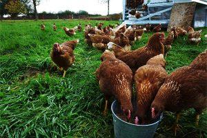Hühnerherde des Tinthofs